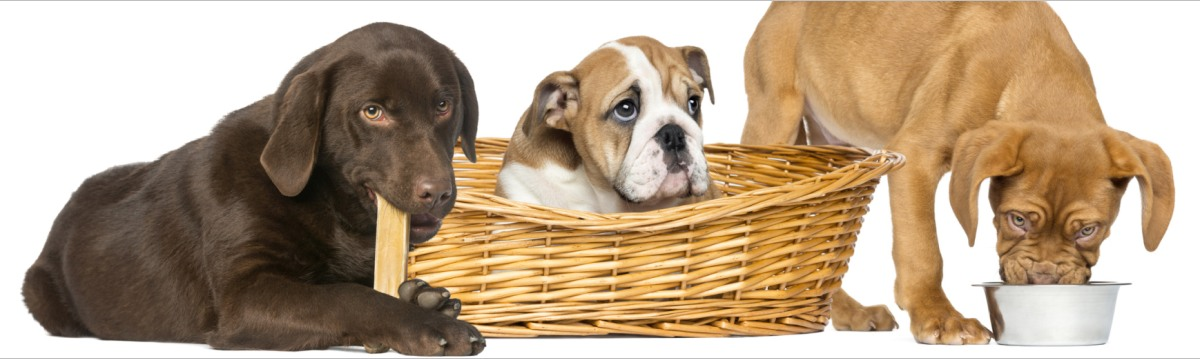 Bordeaux Dogge, English Bulldog und Labrador Retriever fressen